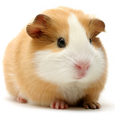 Guinea Pig Veterinary Medicine and Surgery at Ahwatukee Animal Care Hospital