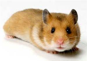 Care for mice, hamsters and gerbils at Ahwatukee Animal Care Hospital