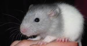 Rodent medicine at Ahwatukee Animal Care Hospital