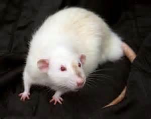 Rat veterinary care at Ahwatukee Animal Care Hospital