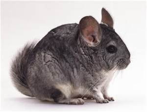 Chinchilla Veterinary Medicine and Surgery at Ahwatukee Animal Care Hospital