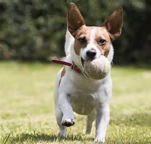 Tennis balls as a dog toy.