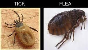 Ahwatukee Animal Care hospital provides flea and tick control for your pet