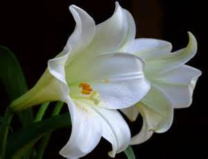 Ahwatukee Animal Care Hospital - lilies