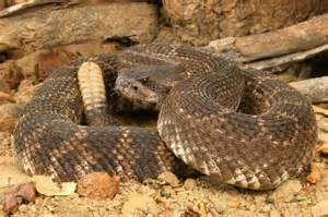 Dogs are at risk for rattlesnake bite.